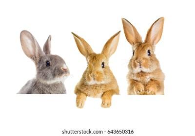 Funny rabbit peeking