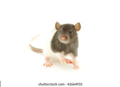 funny rat