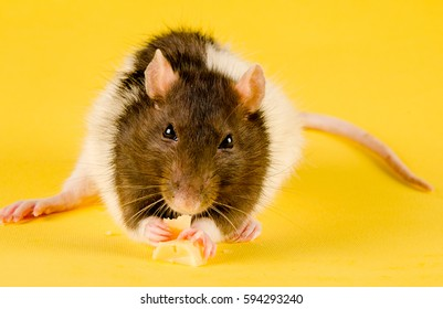 Funny rat eating cheese on a bright yellow background (with focus on the rat paws and eyes)