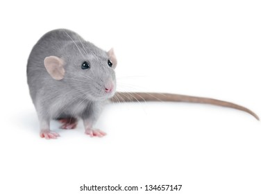 Funny rat on white background
