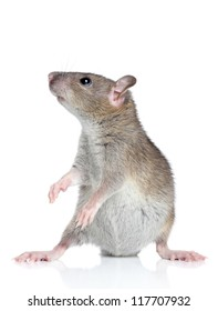Funny rat posing on a white background