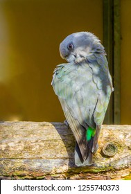 funny red bellied parrot hiding behind its wing giving a sinister or elegant look