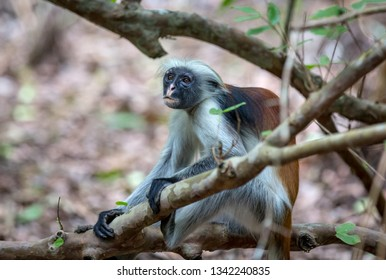 Funny Red Colobus monkey among trees in forest. Zanzibar