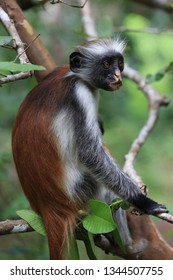 Funny Red Colobus monkey in green forest