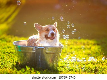 funny red Corgi dog puppy with big ears sitting in a trough with soap suds and bubbles outside in a summer warm Sunny garden