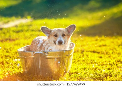 funny red Corgi dog puppy with big ears sitting in a tub of soap suds outside in a summer warm Sunny garden