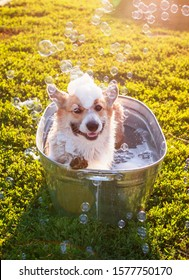funny red Corgi dog puppy with big ears sitting in a tub of water and bubble soap outside in a summer warm Sunny garden