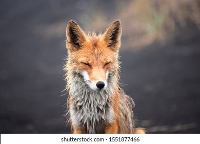 Funny red fox stretches. Concept - funny animals in the wild