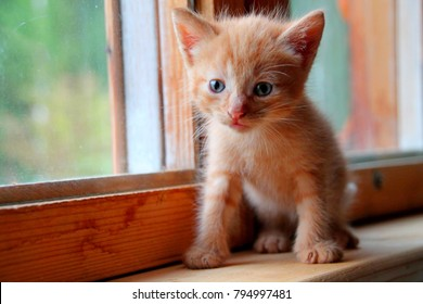 Funny red kitten. Ginger red kitten on window. Long haired red kitten. Sweet adorable red kitten on natural wood background. Little baby cat looking on camera small blue eyes. Tiny kitty alone at home