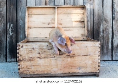 Funny red pig sits in chest. Copy space. 2019 Yellow Pig Year. Concept of healthy lifestyle in nature, love of peace, vegan, vegetarian style, respect for nature