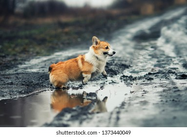 funny red puppy Corgi fun runs across the muddy ground jumping puddles and staining fur , belly and paws