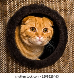Funny red Scottish Fold cat in cat house inside. Cat tree with house and scratching.