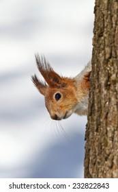 Funny Red squirrel (Sciurus vulgaris) on winter tree.