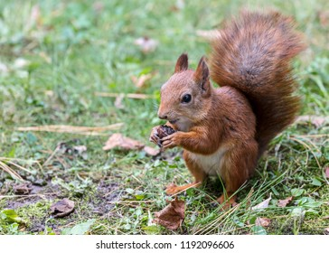 funny red squirrel sitting on grass and holding nut. nature in autumn