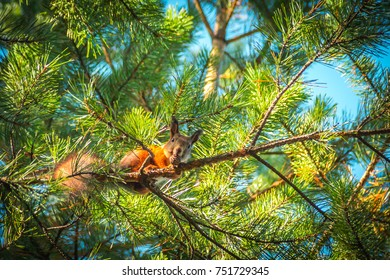 funny red squirrel sitting on a branch in the Park and eats a nut