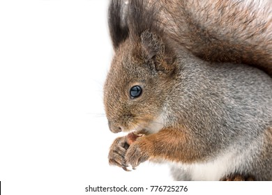 funny red squirrel sitting in snow and holding nut, macro view