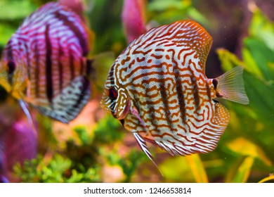 funny red turquoise discus fish in closeup with another one swimming in the background giving a mirror effect