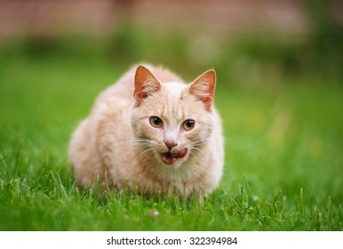 Funny red-haired cat