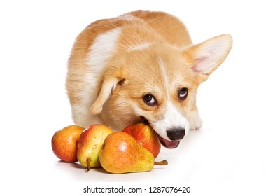 Funny redhead welsh corgi pembroke puppy eating fruit (isolated on white)