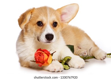 Funny redhead welsh corgi pembroke puppy and rose flower (isolated on white)
