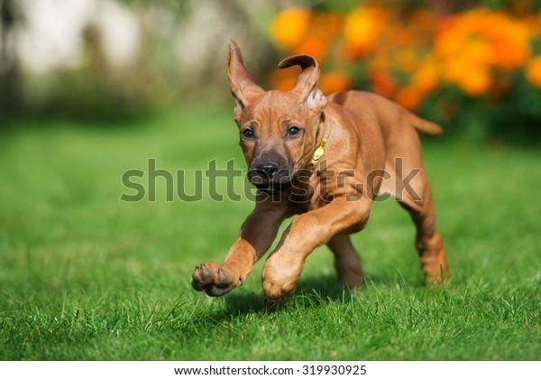 funny ridgeback puppy running outdoors