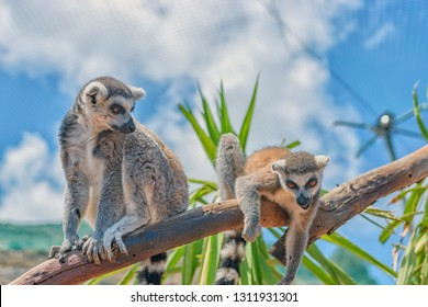 Funny ring-tailed lemurs in a contact zoo.