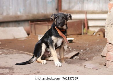 Funny rustic dog with a leather collar. A funny dog ??in the courtyard of a private house. Symbol of the year 2018.