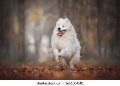 A funny Samoyed running through the foliage against a bright autumn landscape
