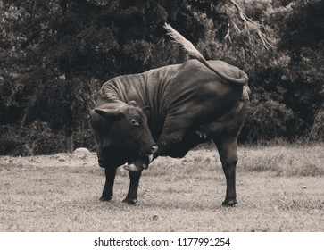 Funny Santa Gertrudis heifer moving leg to get flies during summer on the farm.  Vintage style cattle farming image.