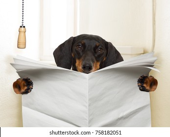 funny   sausage dachshund dog sitting on toilet and reading magazine or newspaper with constipation, blank empty paper