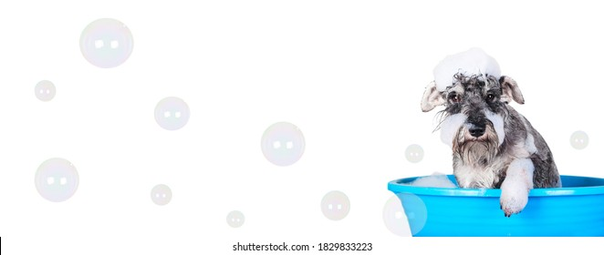 Funny Schnauzer puppy Dog taking bath with shampoo and bubbles in blue bathtub . Banner for pet shop, grooming salon.