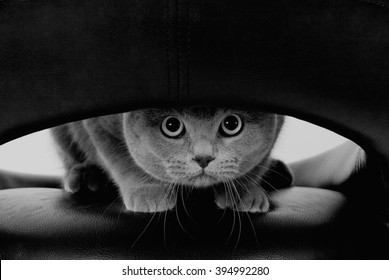 Funny Scottish cat with big round eyes looking through a hole (in black and white, retro style)