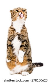 Funny Scottish Fold cat showing tongue standing on his hind legs isolated on a white background