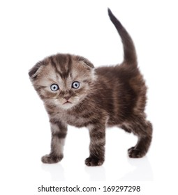 funny scottish kitten looking at camera. isolated on white background