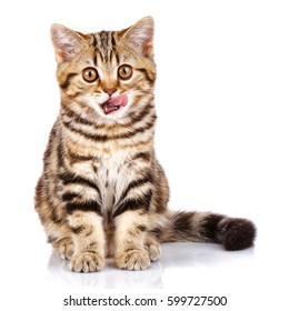 Funny Scottish kitten sitting with open mouth and Licked,looking at the camera
