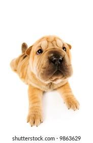 Funny sharpei puppy isolated on white background (studio shot)