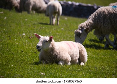 Funny sheep. Happy sheep. Portrait of sheep smiling. Sheep laying on a meadow, and smiling on a sunny day