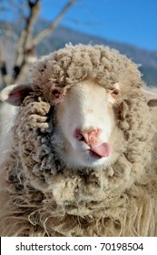 Funny sheep portrait