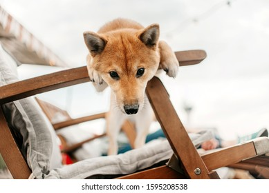 funny shiba inu dog portrait in a chair outdoors