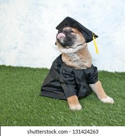 Royalty Free Dog Graduation Images Stock Photos Vectors