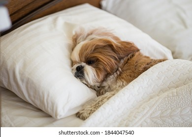 Funny shih tzu dog resting on the bed. cute dog sleeping on the bed.