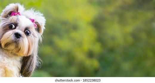 Funny shih-tzu dog peeping .Banner funny  animal .
