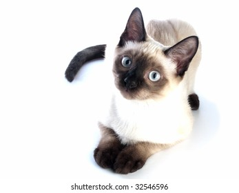 Funny siam kitten laying on white background