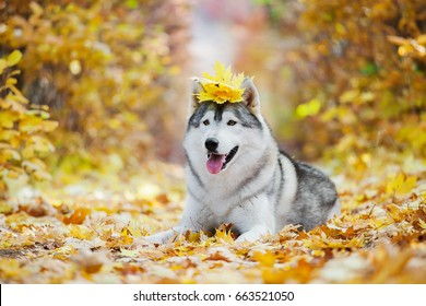 Funny siberian Husky lying in the yellow leaves. Crown of yellow autumn leaves. Dog on the background of nature.