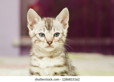 Funny silver bengal kitten