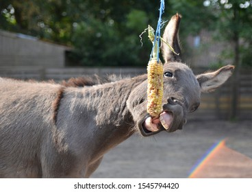 A funny, silver mediterranean miniature donkey eating corn. He's trying to catch the corn with his mouth, his big ears are very funny.
