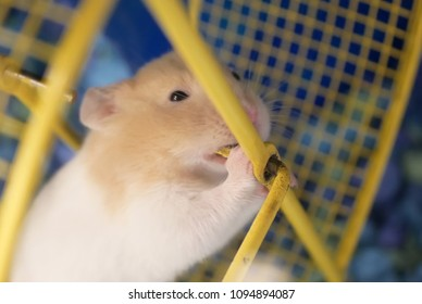 Funny skrian hamster grinding the teeth inside cage at petsmart store
