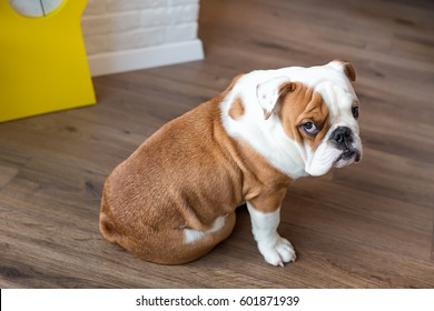 Funny sleeping red white puppy of english bull dog close to brick wall and on the floor looking to camera.Cute doggy with black nose colorful body sitting on wooden floor.