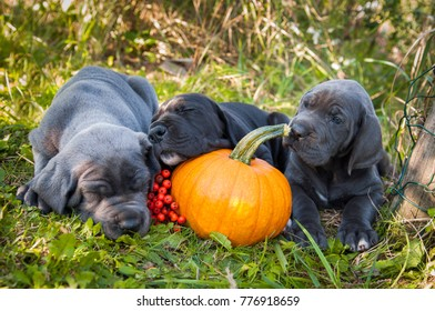 funny sleeping three Great Dane dogs puppies and pumpkin