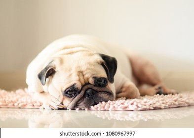 Funny Sleepy Fat Pug Dog with gum in the eye sleep rest on mat floor